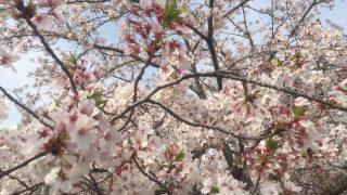 毎年恒例「お花見」のお知らせとコンパクトな折りたたみチェア