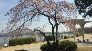 伊丹市の瑞ケ池公園でも桜が開花してお花見シーズン到来ですね